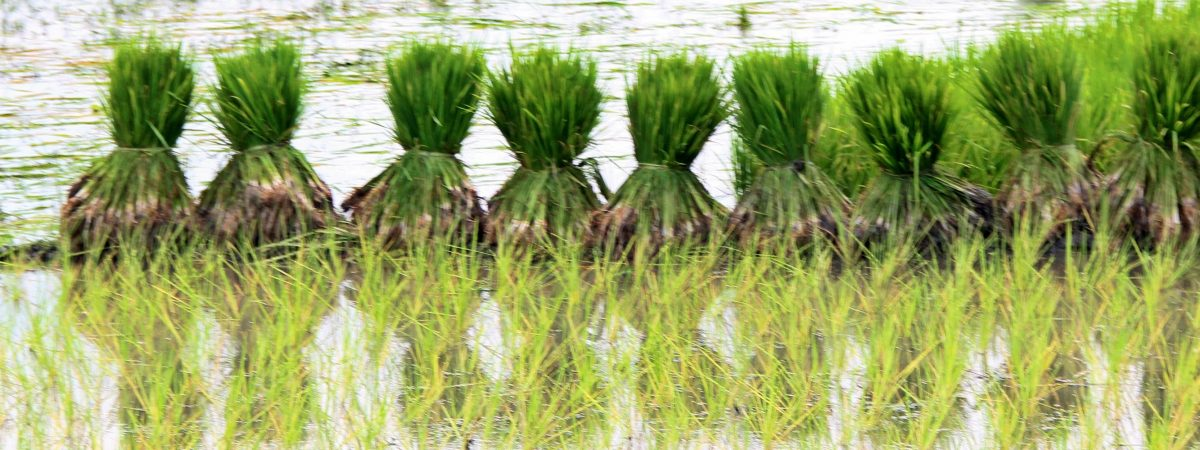 Rice Paddy in Bangladesh